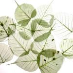 LAIN Leaves  G01